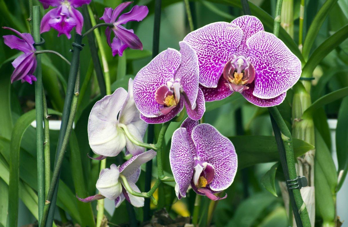 Постер Орхидеи Ветка пурпурных орхидей. (лат. Orchid?ceae Фаленопсис )Орхидеи<br>Постер на холсте или бумаге. Любого нужного вам размера. В раме или без. Подвес в комплекте. Трехслойная надежная упаковка. Доставим в любую точку России. Вам осталось только повесить картину на стену!<br>