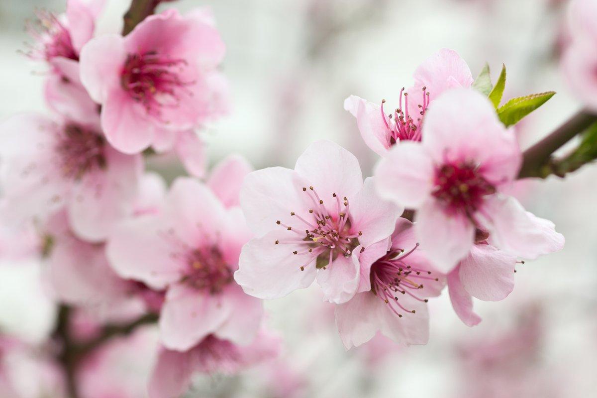Постер Сакура Цветущим деревом весной с розовыми цветамиСакура<br>Постер на холсте или бумаге. Любого нужного вам размера. В раме или без. Подвес в комплекте. Трехслойная надежная упаковка. Доставим в любую точку России. Вам осталось только повесить картину на стену!<br>
