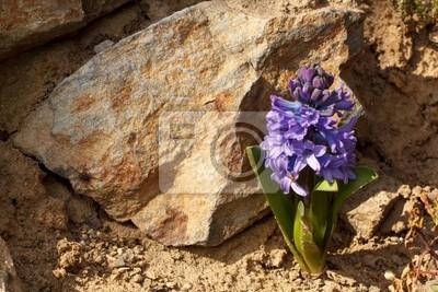 Постер Гиацинты Голубой цветок гиацинтГиацинты<br>Постер на холсте или бумаге. Любого нужного вам размера. В раме или без. Подвес в комплекте. Трехслойная надежная упаковка. Доставим в любую точку России. Вам осталось только повесить картину на стену!<br>