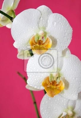 Постер Орхидеи Белые орхидеи-на розовом фонеОрхидеи<br>Постер на холсте или бумаге. Любого нужного вам размера. В раме или без. Подвес в комплекте. Трехслойная надежная упаковка. Доставим в любую точку России. Вам осталось только повесить картину на стену!<br>