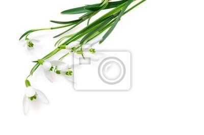 Постер Подснежники Группа Подснежник цветы, изолированных на белом фонеПодснежники<br>Постер на холсте или бумаге. Любого нужного вам размера. В раме или без. Подвес в комплекте. Трехслойная надежная упаковка. Доставим в любую точку России. Вам осталось только повесить картину на стену!<br>