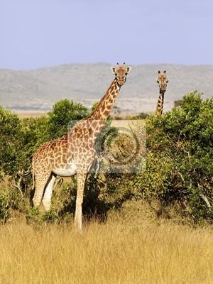 Жирафы на масаи Мара в Кении, 20x27 см, на бумагеЖирафы<br>Постер на холсте или бумаге. Любого нужного вам размера. В раме или без. Подвес в комплекте. Трехслойная надежная упаковка. Доставим в любую точку России. Вам осталось только повесить картину на стену!<br>