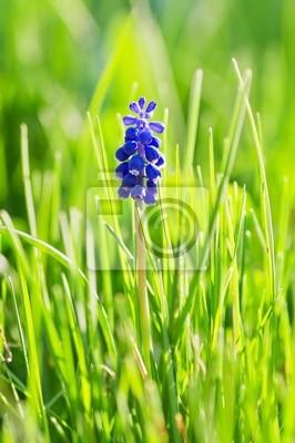 Постер Гиацинты Muskari цветок Винограда (Гиацинт) в траву с подсветкойГиацинты<br>Постер на холсте или бумаге. Любого нужного вам размера. В раме или без. Подвес в комплекте. Трехслойная надежная упаковка. Доставим в любую точку России. Вам осталось только повесить картину на стену!<br>