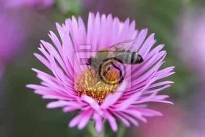 Постер Астры Пчелы собирают пыльцу с aster цветокАстры<br>Постер на холсте или бумаге. Любого нужного вам размера. В раме или без. Подвес в комплекте. Трехслойная надежная упаковка. Доставим в любую точку России. Вам осталось только повесить картину на стену!<br>