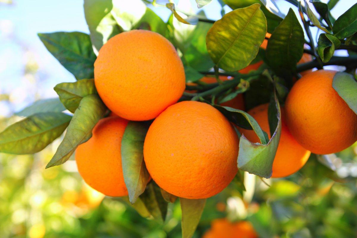 Постер Еда и напитки Ветку апельсинового дерева плоды зеленые листья в Испании, 30x20 см, на бумагеМандарины<br>Постер на холсте или бумаге. Любого нужного вам размера. В раме или без. Подвес в комплекте. Трехслойная надежная упаковка. Доставим в любую точку России. Вам осталось только повесить картину на стену!<br>