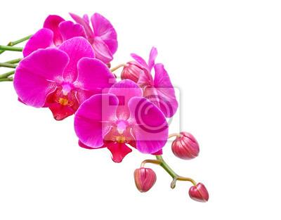 Постер Орхидеи Орхидеи. Бутоны и орхидеи, цветы на белом фоне.Орхидеи<br>Постер на холсте или бумаге. Любого нужного вам размера. В раме или без. Подвес в комплекте. Трехслойная надежная упаковка. Доставим в любую точку России. Вам осталось только повесить картину на стену!<br>