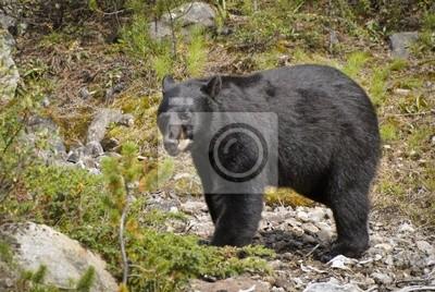 Американский черный медведь (ursus americanus); Альберта, Канада, 30x20 см, на бумагеМедведи<br>Постер на холсте или бумаге. Любого нужного вам размера. В раме или без. Подвес в комплекте. Трехслойная надежная упаковка. Доставим в любую точку России. Вам осталось только повесить картину на стену!<br>