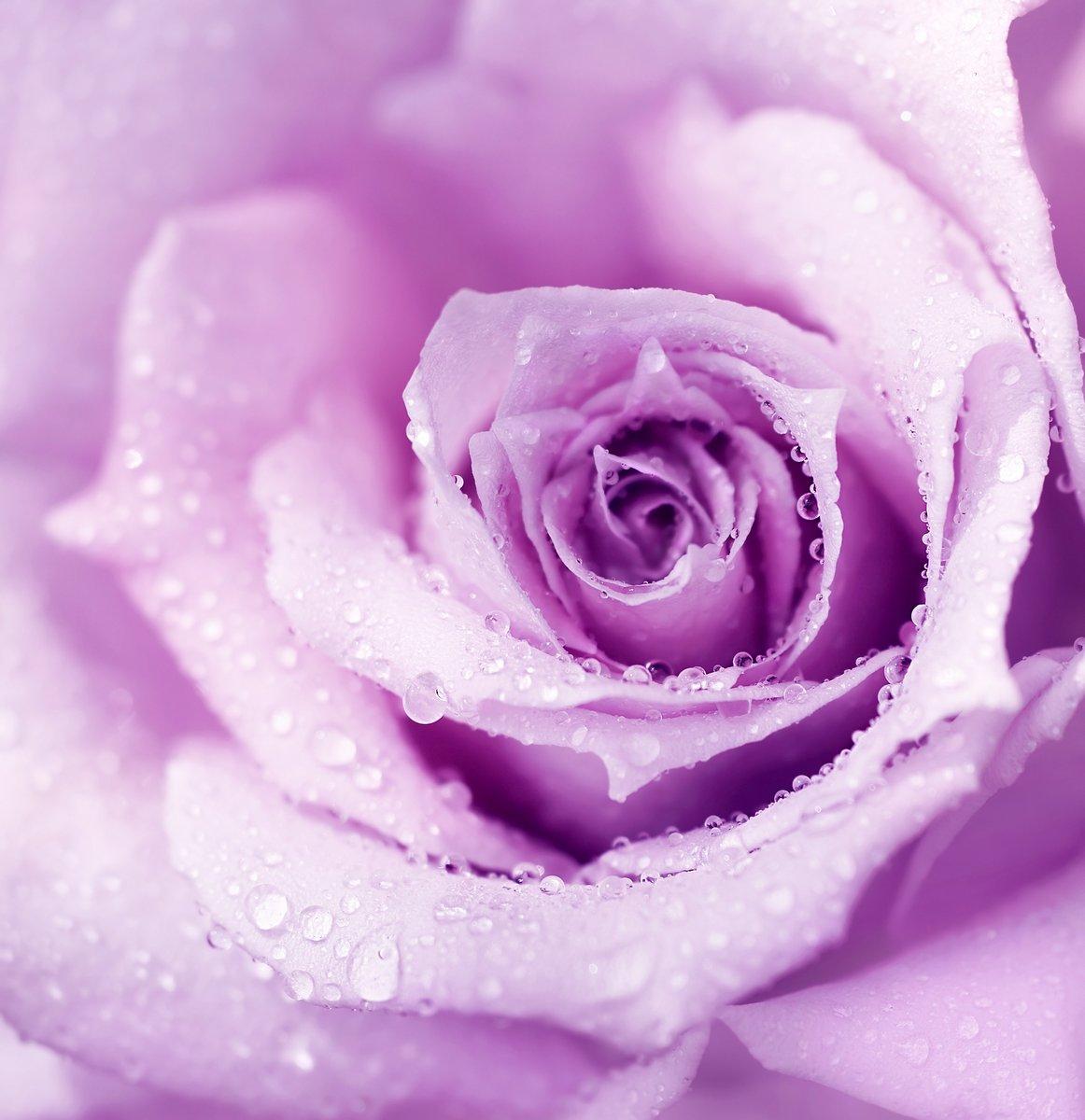 Постер Розы Фиолетовый мокрые розы фонРозы<br>Постер на холсте или бумаге. Любого нужного вам размера. В раме или без. Подвес в комплекте. Трехслойная надежная упаковка. Доставим в любую точку России. Вам осталось только повесить картину на стену!<br>