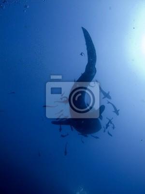 Постер Акулы Китовая Акула - Rhincodon typusАкулы<br>Постер на холсте или бумаге. Любого нужного вам размера. В раме или без. Подвес в комплекте. Трехслойная надежная упаковка. Доставим в любую точку России. Вам осталось только повесить картину на стену!<br>