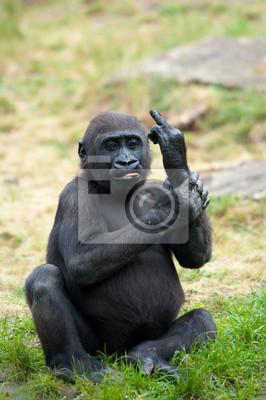 Постер Животные Молодой гориллы торчали его средний палец, 20x30 см, на бумагеОбезьяны<br>Постер на холсте или бумаге. Любого нужного вам размера. В раме или без. Подвес в комплекте. Трехслойная надежная упаковка. Доставим в любую точку России. Вам осталось только повесить картину на стену!<br>