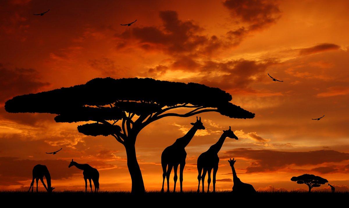Постер Африканский пейзаж Стадо жирафов в лучах заходящего солнцаАфриканский пейзаж<br>Постер на холсте или бумаге. Любого нужного вам размера. В раме или без. Подвес в комплекте. Трехслойная надежная упаковка. Доставим в любую точку России. Вам осталось только повесить картину на стену!<br>