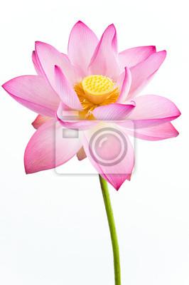 Постер Лотос Розовая водяная Лилия цветок (lotus) и белый фон.Лотос<br>Постер на холсте или бумаге. Любого нужного вам размера. В раме или без. Подвес в комплекте. Трехслойная надежная упаковка. Доставим в любую точку России. Вам осталось только повесить картину на стену!<br>