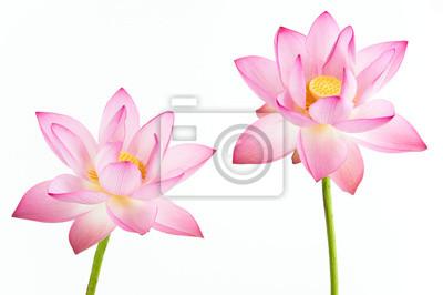 Постер Лотос Twain-розовая водяная Лилия цветок (lotus) и белый фон.Лотос<br>Постер на холсте или бумаге. Любого нужного вам размера. В раме или без. Подвес в комплекте. Трехслойная надежная упаковка. Доставим в любую точку России. Вам осталось только повесить картину на стену!<br>
