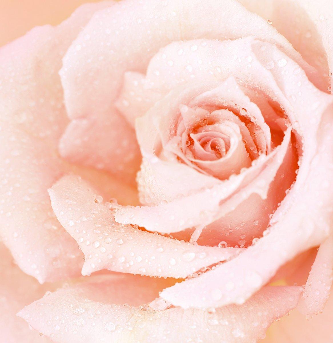 Постер Розы Розовые влажные розы фонРозы<br>Постер на холсте или бумаге. Любого нужного вам размера. В раме или без. Подвес в комплекте. Трехслойная надежная упаковка. Доставим в любую точку России. Вам осталось только повесить картину на стену!<br>