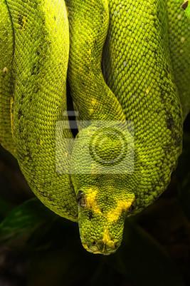 Постер Рептилии Зеленый питон, Morelia viridisРептилии<br>Постер на холсте или бумаге. Любого нужного вам размера. В раме или без. Подвес в комплекте. Трехслойная надежная упаковка. Доставим в любую точку России. Вам осталось только повесить картину на стену!<br>