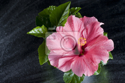 Красивый розовый цветок гибискуса на черном, 30x20 см, на бумагеГибискус<br>Постер на холсте или бумаге. Любого нужного вам размера. В раме или без. Подвес в комплекте. Трехслойная надежная упаковка. Доставим в любую точку России. Вам осталось только повесить картину на стену!<br>