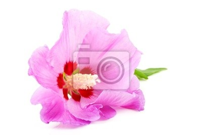 Постер Цветы Розовый цветок Гибискуса в closeup на белом фоне, 30x20 см, на бумагеГибискус<br>Постер на холсте или бумаге. Любого нужного вам размера. В раме или без. Подвес в комплекте. Трехслойная надежная упаковка. Доставим в любую точку России. Вам осталось только повесить картину на стену!<br>