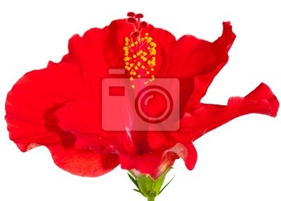 Постер Гибискус Rose de Chine, Гибискус РужГибискус<br>Постер на холсте или бумаге. Любого нужного вам размера. В раме или без. Подвес в комплекте. Трехслойная надежная упаковка. Доставим в любую точку России. Вам осталось только повесить картину на стену!<br>