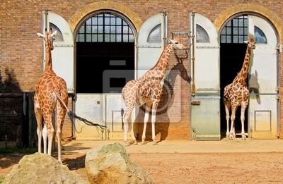 Жирафы в Лондонский Зоопарк, на Риджент-парк, 31x20 см, на бумагеЖирафы<br>Постер на холсте или бумаге. Любого нужного вам размера. В раме или без. Подвес в комплекте. Трехслойная надежная упаковка. Доставим в любую точку России. Вам осталось только повесить картину на стену!<br>