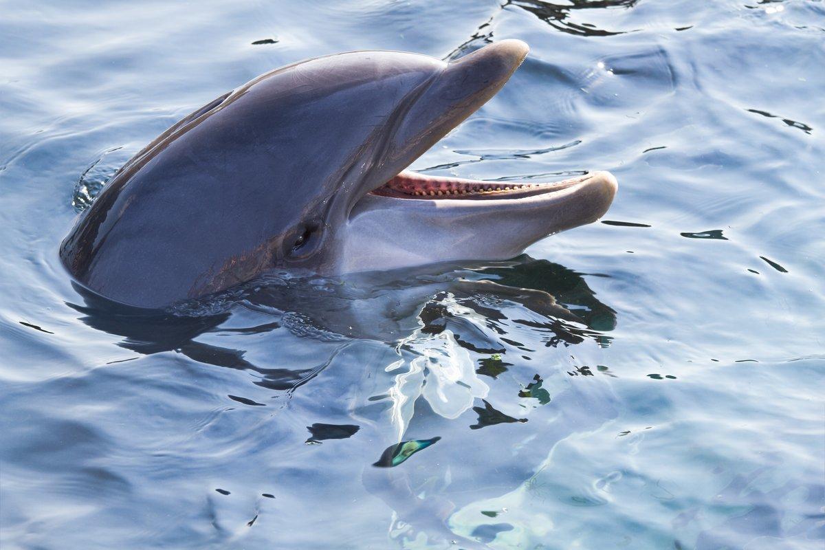 Постер Дельфины Афалина или Tursiops truncatus глядяДельфины<br>Постер на холсте или бумаге. Любого нужного вам размера. В раме или без. Подвес в комплекте. Трехслойная надежная упаковка. Доставим в любую точку России. Вам осталось только повесить картину на стену!<br>