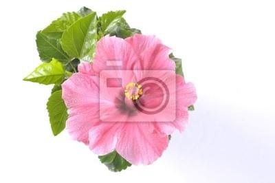 Постер Гибискус Красивый розовый цветок гибискуса над белымГибискус<br>Постер на холсте или бумаге. Любого нужного вам размера. В раме или без. Подвес в комплекте. Трехслойная надежная упаковка. Доставим в любую точку России. Вам осталось только повесить картину на стену!<br>
