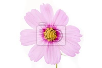 Постер Космеи Розовый цветок на белом фонеКосмеи<br>Постер на холсте или бумаге. Любого нужного вам размера. В раме или без. Подвес в комплекте. Трехслойная надежная упаковка. Доставим в любую точку России. Вам осталось только повесить картину на стену!<br>