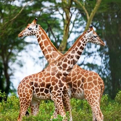 Постер Животные Rotschild, жирафов в Озеро Накуру, Кения, Национальный парк, 20x20 см, на бумагеЖирафы<br>Постер на холсте или бумаге. Любого нужного вам размера. В раме или без. Подвес в комплекте. Трехслойная надежная упаковка. Доставим в любую точку России. Вам осталось только повесить картину на стену!<br>