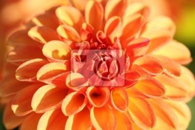Постер Георгины Орхидея цветок в утреннем солнцеГеоргины<br>Постер на холсте или бумаге. Любого нужного вам размера. В раме или без. Подвес в комплекте. Трехслойная надежная упаковка. Доставим в любую точку России. Вам осталось только повесить картину на стену!<br>