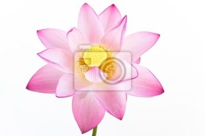 Постер Цветы Розовая водяная Лилия цветок (lotus) и белый фон., 30x20 см, на бумагеЛотос<br>Постер на холсте или бумаге. Любого нужного вам размера. В раме или без. Подвес в комплекте. Трехслойная надежная упаковка. Доставим в любую точку России. Вам осталось только повесить картину на стену!<br>