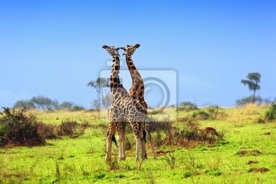 Постер Жирафы Два жирафа в Африканской саваннеЖирафы<br>Постер на холсте или бумаге. Любого нужного вам размера. В раме или без. Подвес в комплекте. Трехслойная надежная упаковка. Доставим в любую точку России. Вам осталось только повесить картину на стену!<br>