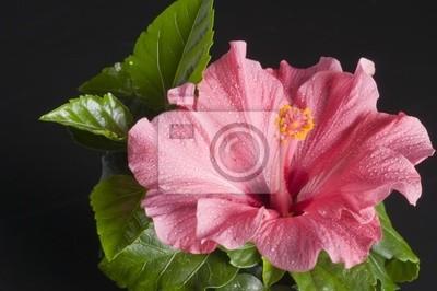 Постер Гибискус Красивый розовый цветок гибискуса на черномГибискус<br>Постер на холсте или бумаге. Любого нужного вам размера. В раме или без. Подвес в комплекте. Трехслойная надежная упаковка. Доставим в любую точку России. Вам осталось только повесить картину на стену!<br>