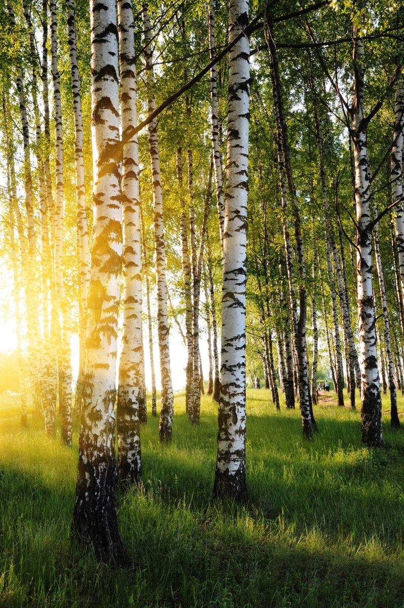 Постер Россия Березовые деревья в летнем лесу,Россия<br>Постер на холсте или бумаге. Любого нужного вам размера. В раме или без. Подвес в комплекте. Трехслойная надежная упаковка. Доставим в любую точку России. Вам осталось только повесить картину на стену!<br>