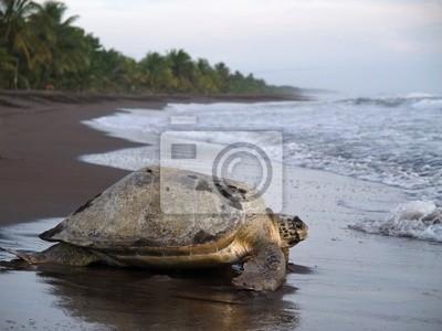 Морская черепаха в Tortuguero Национальный парк, Коста-Рика, 27x20 см, на бумагеЧерепахи<br>Постер на холсте или бумаге. Любого нужного вам размера. В раме или без. Подвес в комплекте. Трехслойная надежная упаковка. Доставим в любую точку России. Вам осталось только повесить картину на стену!<br>