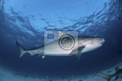 Постер Подводный мир Полосатый Тигр акула, 30x20 см, на бумагеАкулы<br>Постер на холсте или бумаге. Любого нужного вам размера. В раме или без. Подвес в комплекте. Трехслойная надежная упаковка. Доставим в любую точку России. Вам осталось только повесить картину на стену!<br>