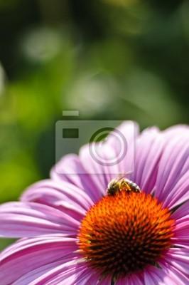 Фиолетовый конус цветок (Echinacea purpurea примадонны tiefrosa), 20x30 см, на бумагеЭхинацея<br>Постер на холсте или бумаге. Любого нужного вам размера. В раме или без. Подвес в комплекте. Трехслойная надежная упаковка. Доставим в любую точку России. Вам осталось только повесить картину на стену!<br>