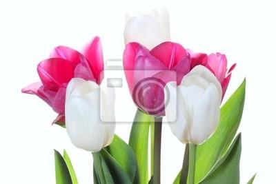 Постер Тюльпаны Тюльпаны цветы на белом фонеТюльпаны<br>Постер на холсте или бумаге. Любого нужного вам размера. В раме или без. Подвес в комплекте. Трехслойная надежная упаковка. Доставим в любую точку России. Вам осталось только повесить картину на стену!<br>