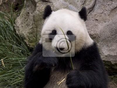 Постер Животные Panda, 27x20 см, на бумагеПанда<br>Постер на холсте или бумаге. Любого нужного вам размера. В раме или без. Подвес в комплекте. Трехслойная надежная упаковка. Доставим в любую точку России. Вам осталось только повесить картину на стену!<br>