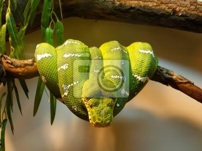 Постер Рептилии Зеленое дерево pythonРептилии<br>Постер на холсте или бумаге. Любого нужного вам размера. В раме или без. Подвес в комплекте. Трехслойная надежная упаковка. Доставим в любую точку России. Вам осталось только повесить картину на стену!<br>