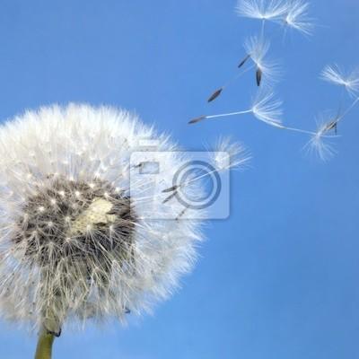 Постер Цветы Одуванчик одуванчика и летающих семян, 20x20 см, на бумагеОдуванчики<br>Постер на холсте или бумаге. Любого нужного вам размера. В раме или без. Подвес в комплекте. Трехслойная надежная упаковка. Доставим в любую точку России. Вам осталось только повесить картину на стену!<br>