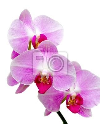 Постер Орхидеи Орхидеи, цветущие ветки, на белом фоне крупным планомОрхидеи<br>Постер на холсте или бумаге. Любого нужного вам размера. В раме или без. Подвес в комплекте. Трехслойная надежная упаковка. Доставим в любую точку России. Вам осталось только повесить картину на стену!<br>