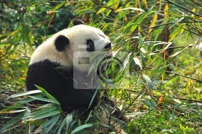Постер Панда Голодный великан панда, медведь ест бамбукаПанда<br>Постер на холсте или бумаге. Любого нужного вам размера. В раме или без. Подвес в комплекте. Трехслойная надежная упаковка. Доставим в любую точку России. Вам осталось только повесить картину на стену!<br>