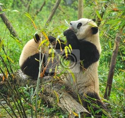 Постер Животные Голодный великан панда, медведь ест бамбука, 21x20 см, на бумагеПанда<br>Постер на холсте или бумаге. Любого нужного вам размера. В раме или без. Подвес в комплекте. Трехслойная надежная упаковка. Доставим в любую точку России. Вам осталось только повесить картину на стену!<br>