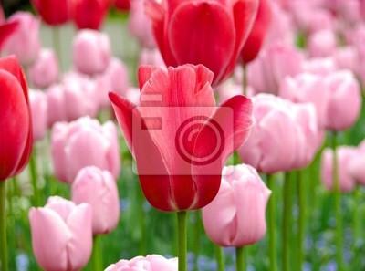 Постер Тюльпаны Много свежих Блум розовых тюльпанов в весенний деньТюльпаны<br>Постер на холсте или бумаге. Любого нужного вам размера. В раме или без. Подвес в комплекте. Трехслойная надежная упаковка. Доставим в любую точку России. Вам осталось только повесить картину на стену!<br>