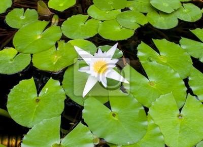Постер Лилии Белый цветок лотоса, зеленые листья на водеЛилии<br>Постер на холсте или бумаге. Любого нужного вам размера. В раме или без. Подвес в комплекте. Трехслойная надежная упаковка. Доставим в любую точку России. Вам осталось только повесить картину на стену!<br>