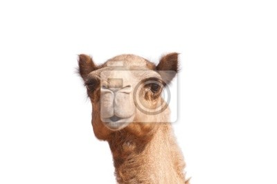 Постер Верблюды