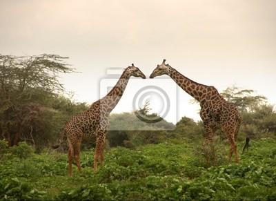 Постер Животные Два жирафа в любви, 27x20 см, на бумагеЖирафы<br>Постер на холсте или бумаге. Любого нужного вам размера. В раме или без. Подвес в комплекте. Трехслойная надежная упаковка. Доставим в любую точку России. Вам осталось только повесить картину на стену!<br>