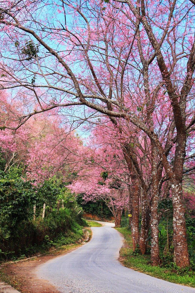 Постер Сакура Sakura pink дороге в Чиангмай, ТаиландСакура<br>Постер на холсте или бумаге. Любого нужного вам размера. В раме или без. Подвес в комплекте. Трехслойная надежная упаковка. Доставим в любую точку России. Вам осталось только повесить картину на стену!<br>