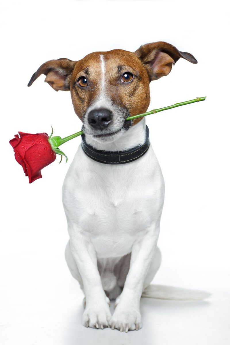 Постер Животные Собака с красной розой, 20x30 см, на бумагеСобаки<br>Постер на холсте или бумаге. Любого нужного вам размера. В раме или без. Подвес в комплекте. Трехслойная надежная упаковка. Доставим в любую точку России. Вам осталось только повесить картину на стену!<br>