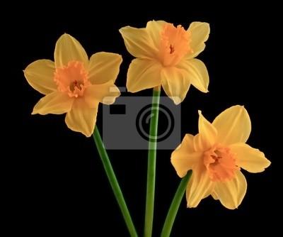 Постер Нарциссы Три желтые цветущие нарциссыНарциссы<br>Постер на холсте или бумаге. Любого нужного вам размера. В раме или без. Подвес в комплекте. Трехслойная надежная упаковка. Доставим в любую точку России. Вам осталось только повесить картину на стену!<br>