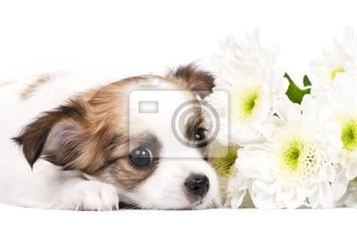 Постер Цветы Очаровательны чихуахуа щенок с цветами close-up, 30x20 см, на бумагеАстры<br>Постер на холсте или бумаге. Любого нужного вам размера. В раме или без. Подвес в комплекте. Трехслойная надежная упаковка. Доставим в любую точку России. Вам осталось только повесить картину на стену!<br>